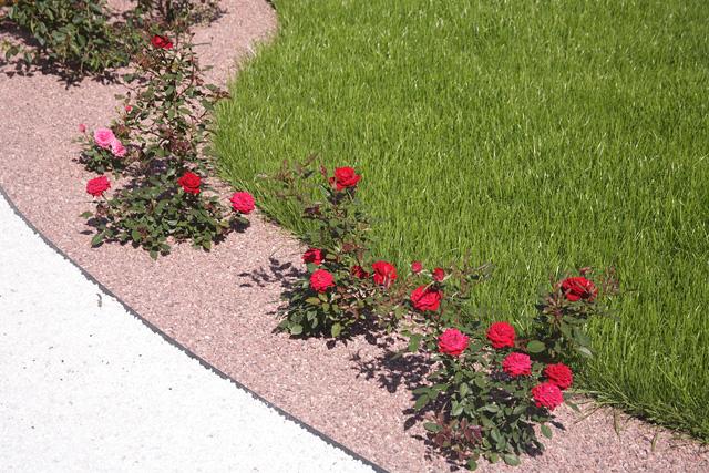 На каком расстоянии сажать кустовые розы друг от друга 15
