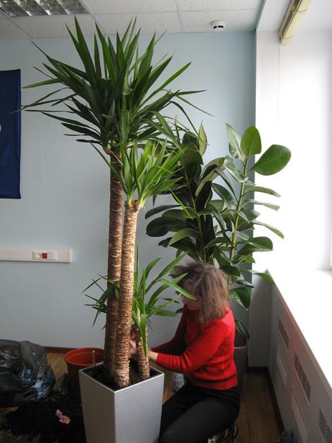 Комнатные растения и цветы пальма